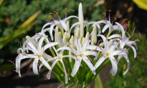 Spider Lilly Flower