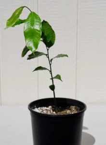 Photo of a potted Maya nut tree seedling, Brosimum alicastrum, at Discovery Harbour, Hawaii