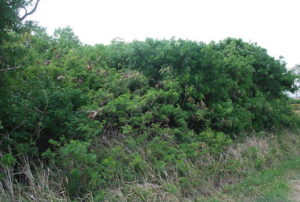 Photo of typical non-native vegetation, Discovery Harbour, Hawaii