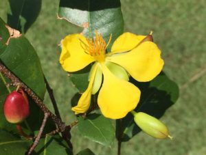 Flower of Ochna tomasiana, a newly reported invasive species at Discovery Harbour, Hawaii