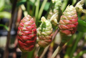 Flowers Heads of Awapuhi or Shampoo Ginger, Zingiber zerumbet
