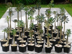 Collection of four year old Socotra rose seedlings grown at Discovery Harbour, Hawaii
