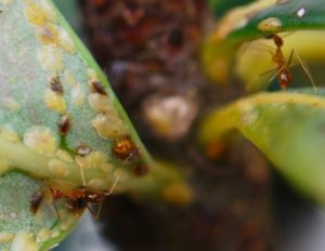 Yellow Crazy Ant Anoplolepis gracilipes feeding on scale insects