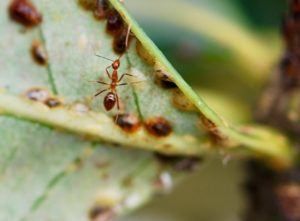 Yellow crazy ants (Anoplolepis gracilipes) tending scale insects