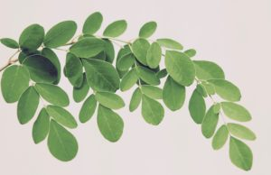 Leaves of Moringa oleifera